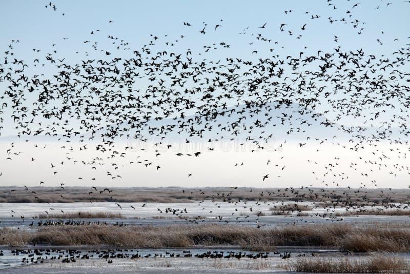 Flock av flyttfåglar över en Marsh royaltyfria bilder