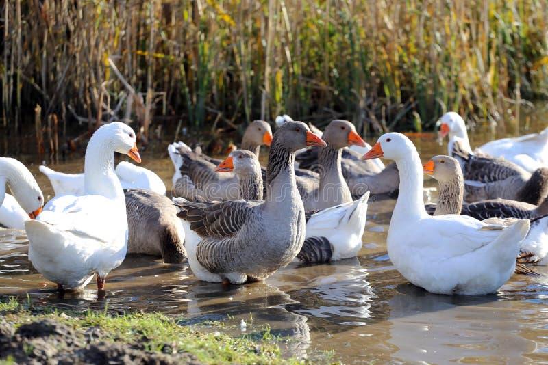 Flock av gäss som simmar i ett sumpigt damm royaltyfri bild