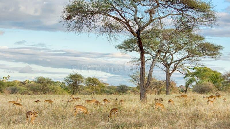 Flock av gaseller, Tarangire nationalpark, Tanzania, Afrika arkivbilder