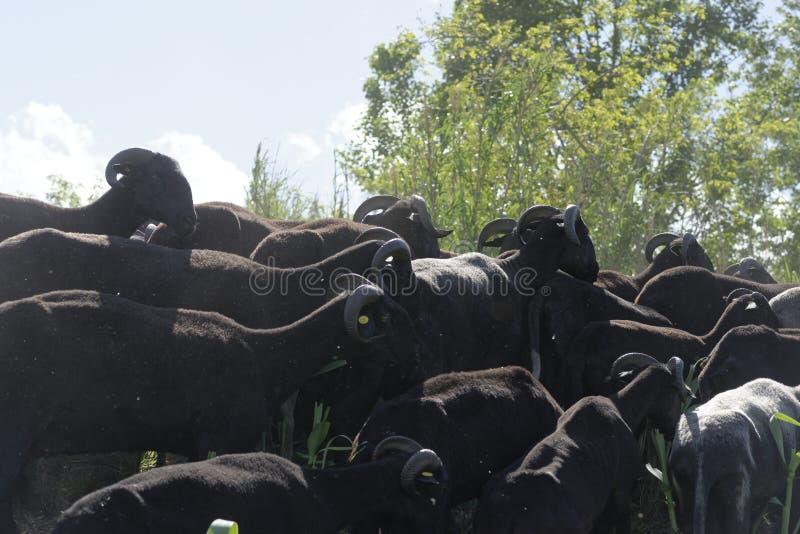 Flock av geten arkivfoton