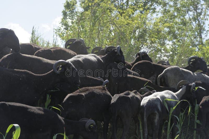 Flock av geten royaltyfri bild