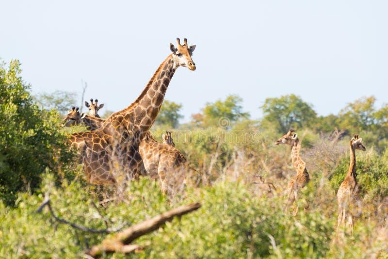 Flock av giraff som går i busken arkivfoto