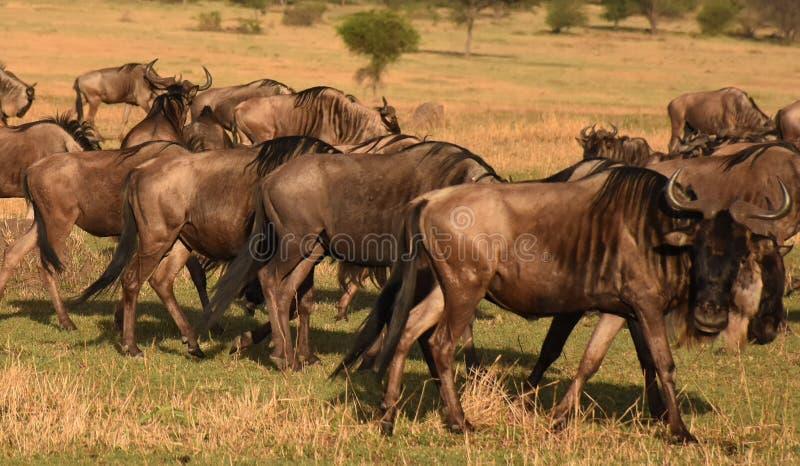 Flock av gnu i Serengeti, Tanzania fotografering för bildbyråer