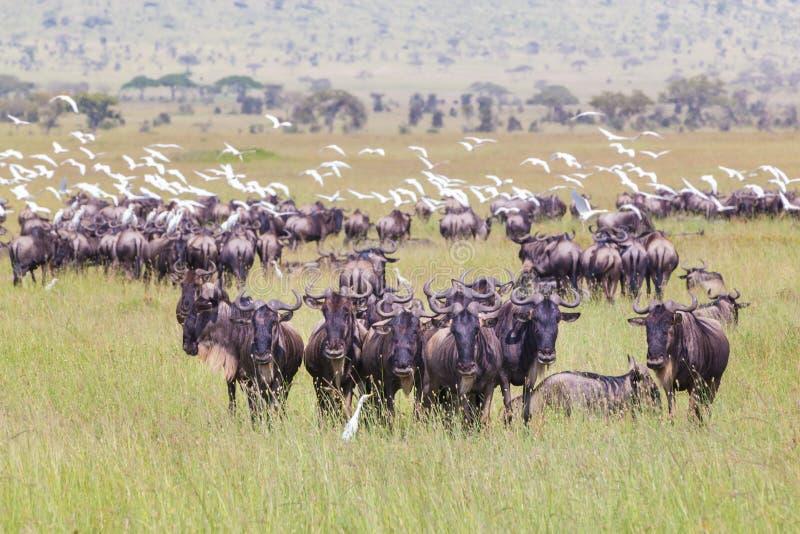 Flock av gnu som betar i Serengeti arkivbilder