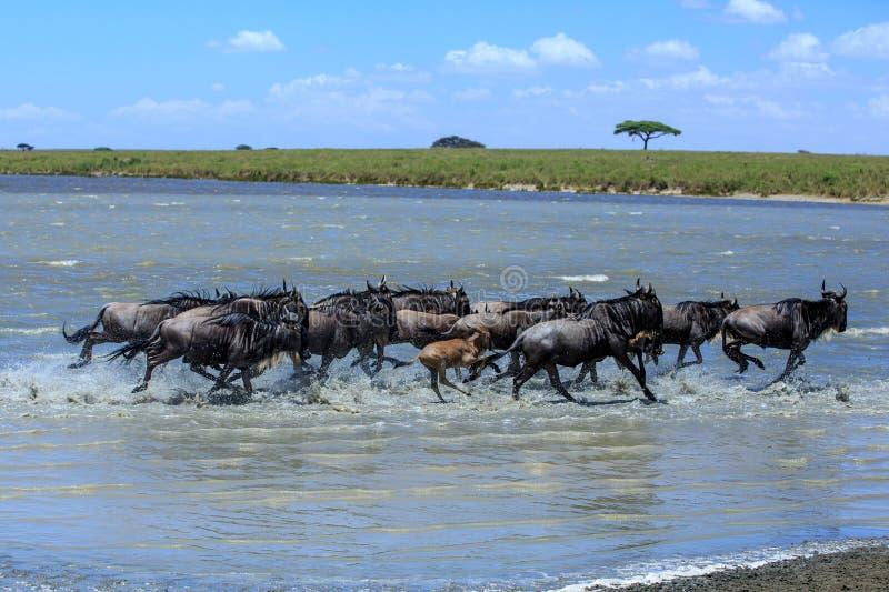 Flock av gnu som korsar en flod i Serengetien fotografering för bildbyråer