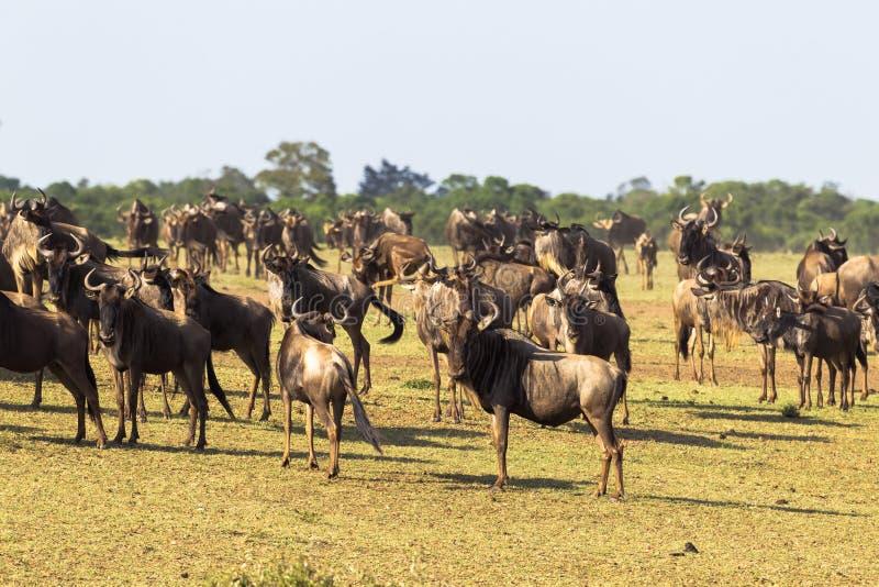 Flock av gnu som väntar på korsningen Ackumulation av ungulates på kusten africa kenya mara masaiflod Kenya Afrika royaltyfri bild