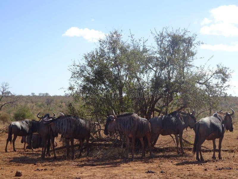 Flock av gnu under busken på den Kruger nationalparken Sydafrika royaltyfri foto