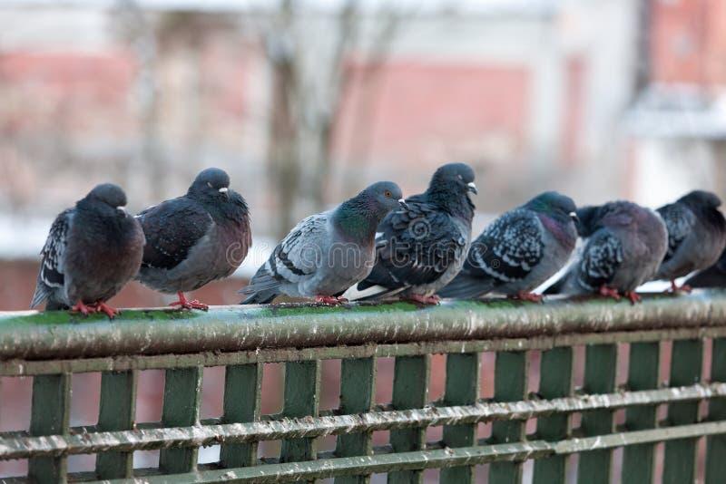 Flock av gråa duvor royaltyfri fotografi