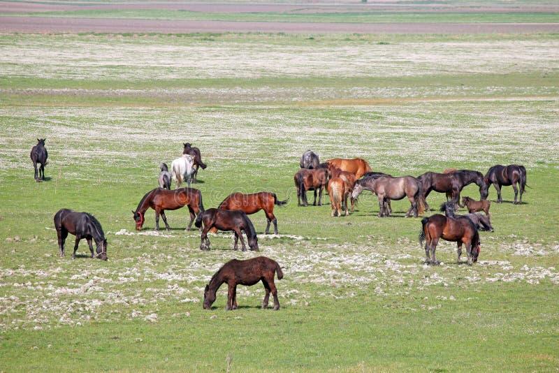 Flock av hästar i fältet arkivbild