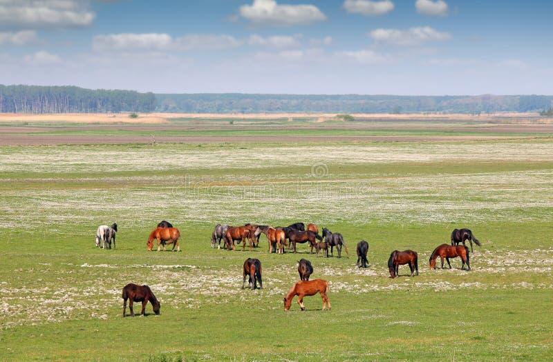 Flock av hästar i fältlandskapvåren royaltyfria bilder