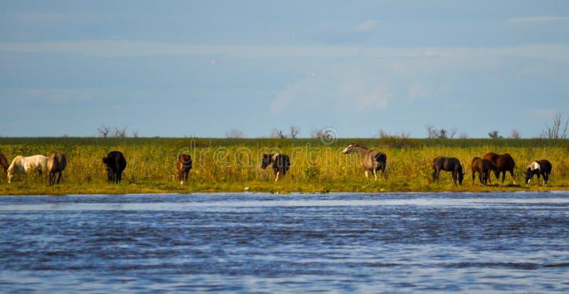 Flock av hästar i kusten av Parana River arkivfoton