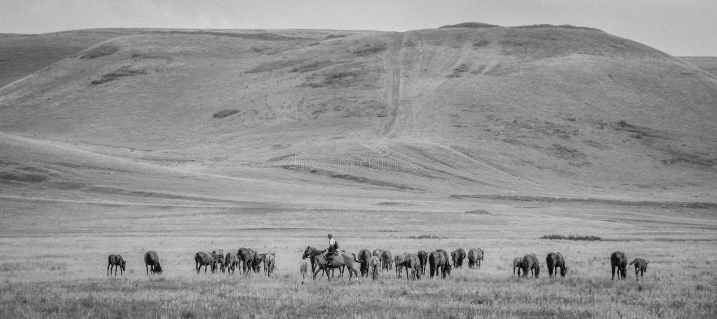Flock av hästar med herden på en grön äng Hästlantgården betar med stoen och fölet landskap f?r sommardag arkivbild