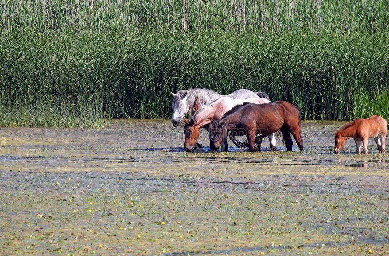 Flock av hästar på floden arkivbild
