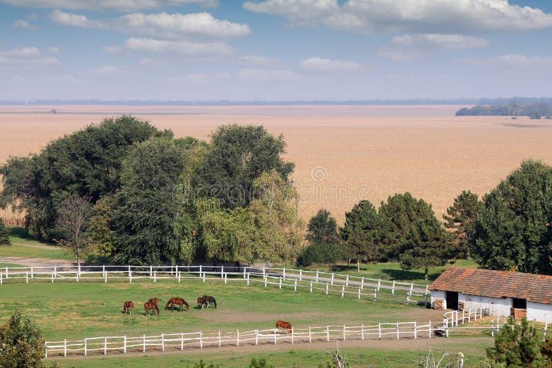 Flock av hästar på solig höstdag för lantgård arkivbilder