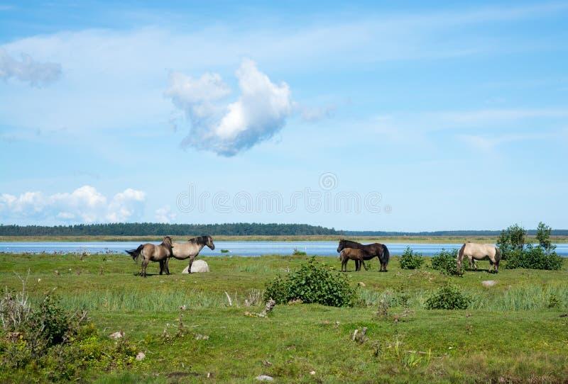 Flock av hästar som betar i ängen royaltyfria foton