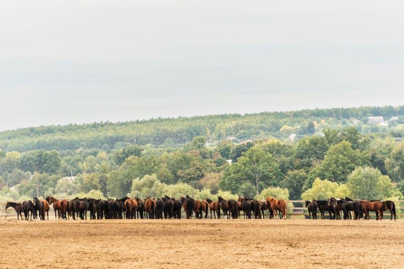 Flock av hästar vid staketet royaltyfri foto
