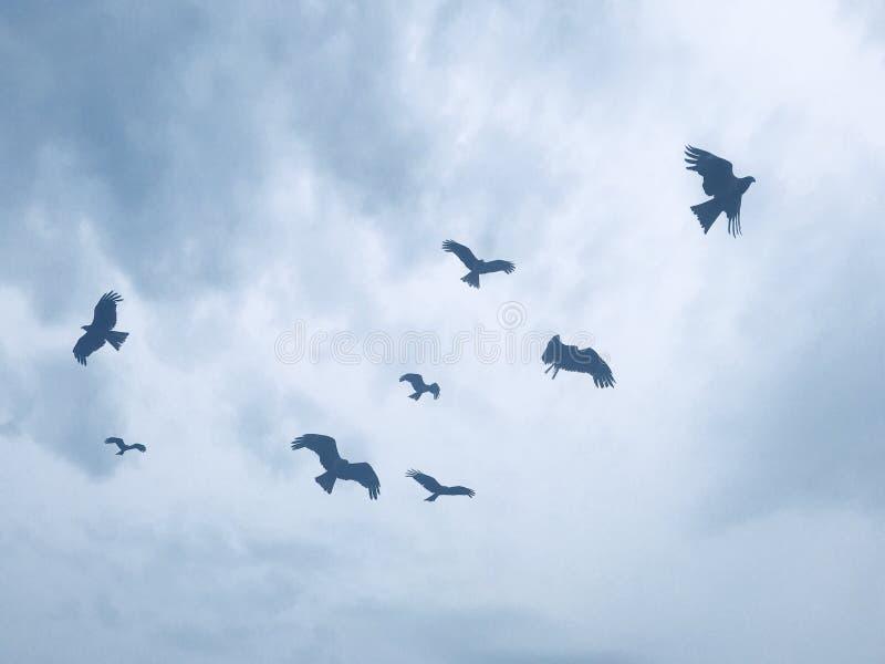 Flock av hökar i Japan arkivbild
