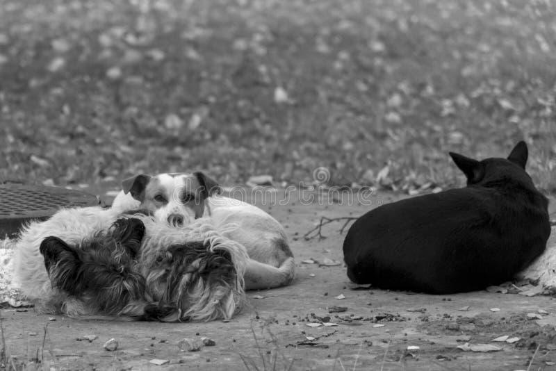Flock av hemlös hundkapplöpning på en kall våreftermiddag, svartvitt foto arkivbilder