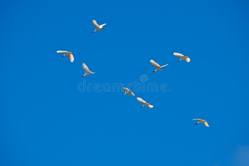 Flock av ibits, Australien royaltyfri foto