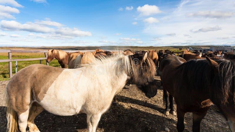 flock av icelandic hästar på fålla i september royaltyfri bild