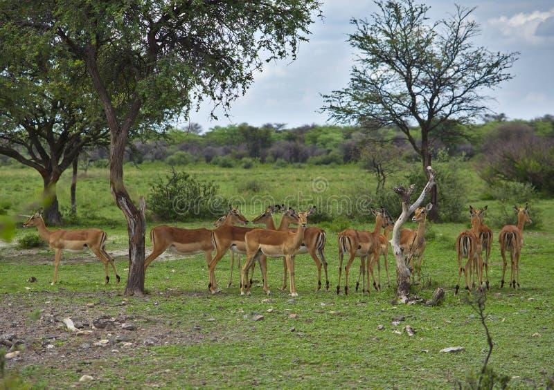 Flock av impalaantilopes i skuggan av ett träd royaltyfri bild