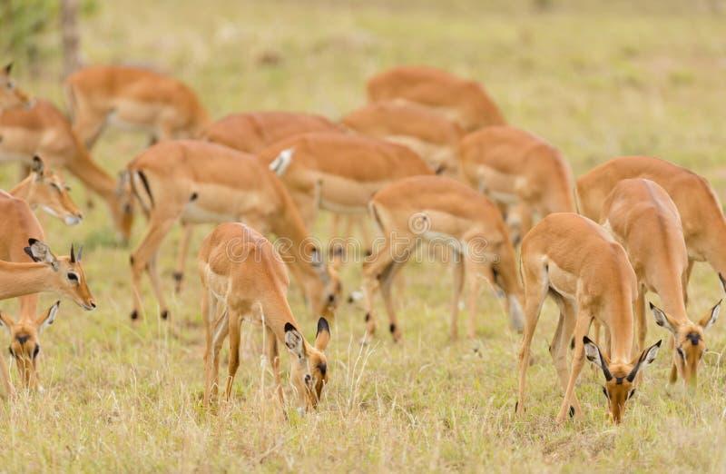 Flock av impalan i Serengetien fotografering för bildbyråer