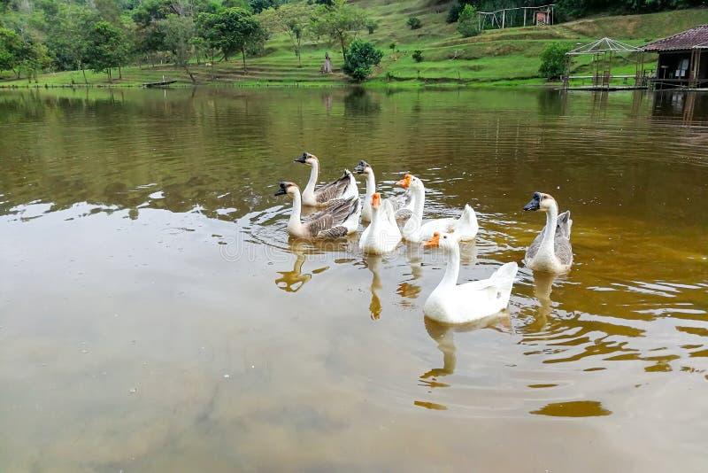Flock av inhemsk gäss som simmar i sjön royaltyfria bilder