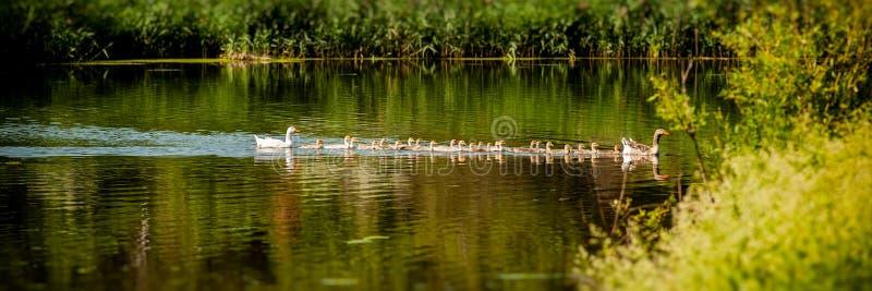 Flock av inhemsk gäss som simmar längs floden Baner för design royaltyfri bild