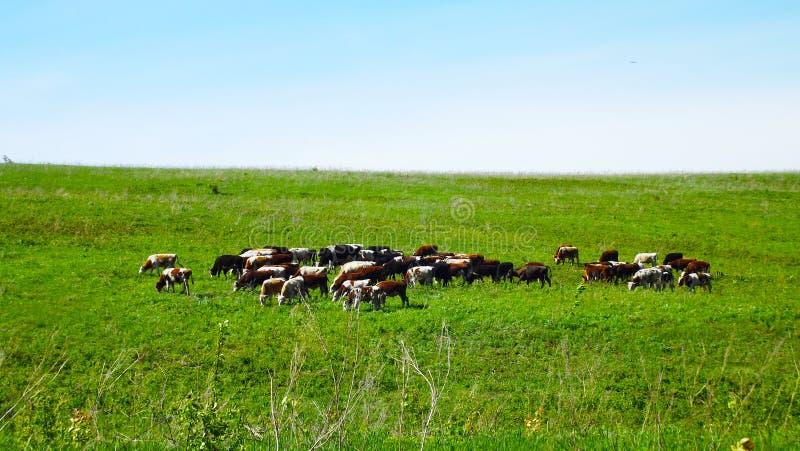 Flock av kor arkivfoton