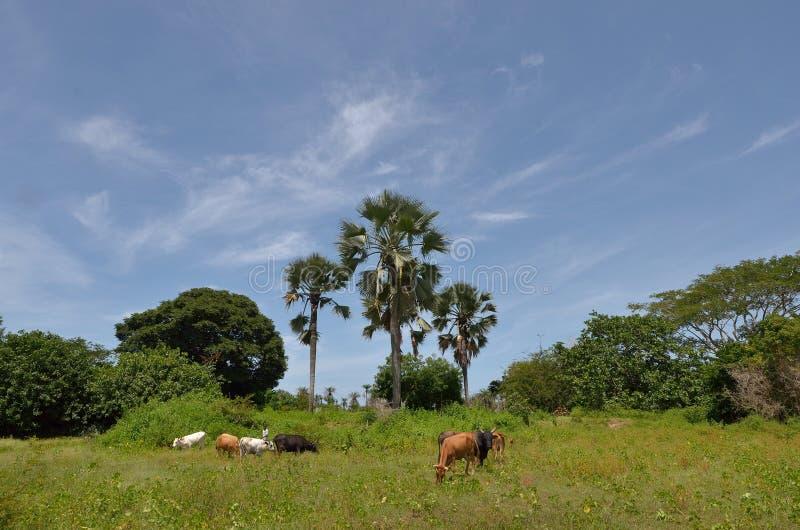 Download Flock av kor fotografering för bildbyråer. Bild av fält - 27285571