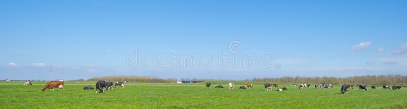 Flock av kor i en grön äng nedanför en blå himmel i solljus I royaltyfri bild