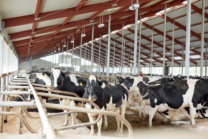 Flock av kor i ladugårdstall på mejerilantgård arkivfoton