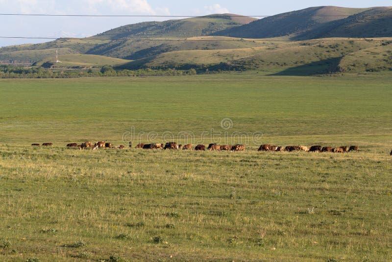 Flock av kor och tjurar i bergen royaltyfria foton