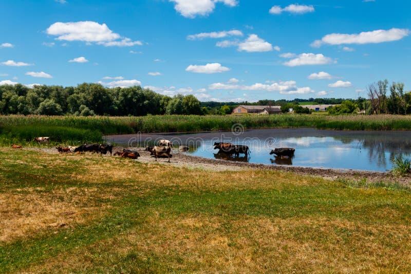 Flock av kor på brunnsorten royaltyfri foto
