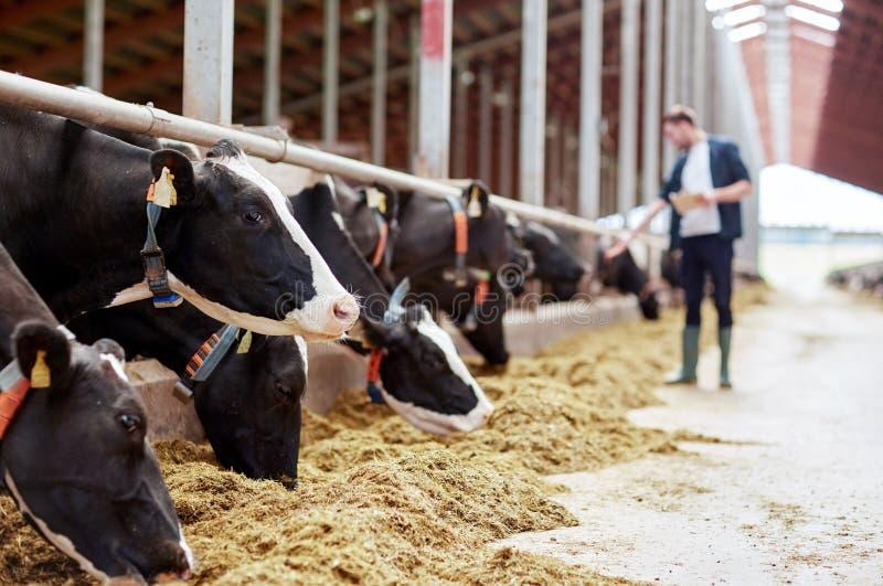 Flock av kor som äter hö i ladugård på mejerilantgård arkivfoto