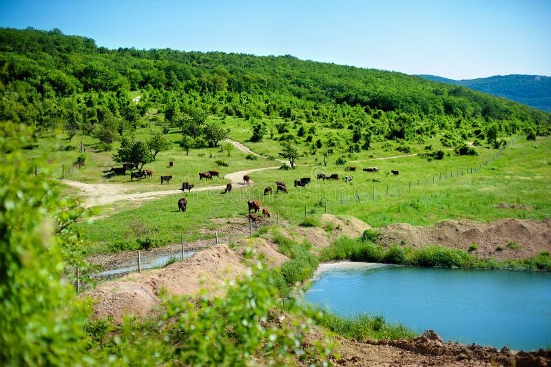 Flock av kor som betar på en grön äng nära sjön i kullarna på den soliga sommardagen Det pittoreska landskapet mejeri royaltyfri fotografi