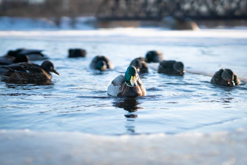 Flock av lösa änder som simmar i kalla vattnet av en djupfryst flodsjö eller damm i ett vintersolnedgångljus royaltyfria bilder