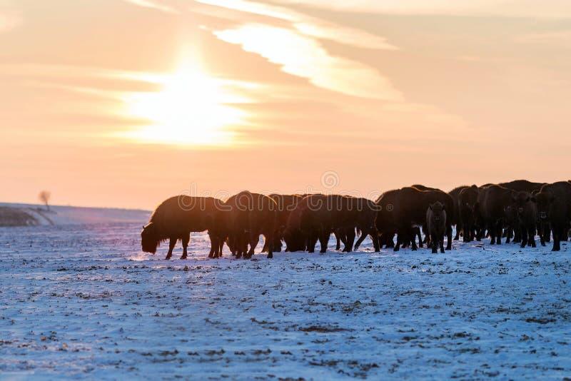 Flock av lösa bisonar arkivfoton