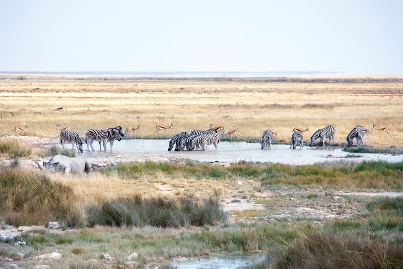 Flock av lösa däggdjurs- djur аntelopes, sebror, noshörningdricksvatten på sjön på safari i den Etosha nationalparken, Namibia royaltyfri fotografi
