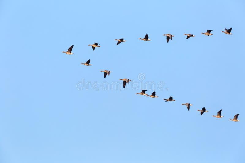 Flock av löst flyga för gäss royaltyfria bilder