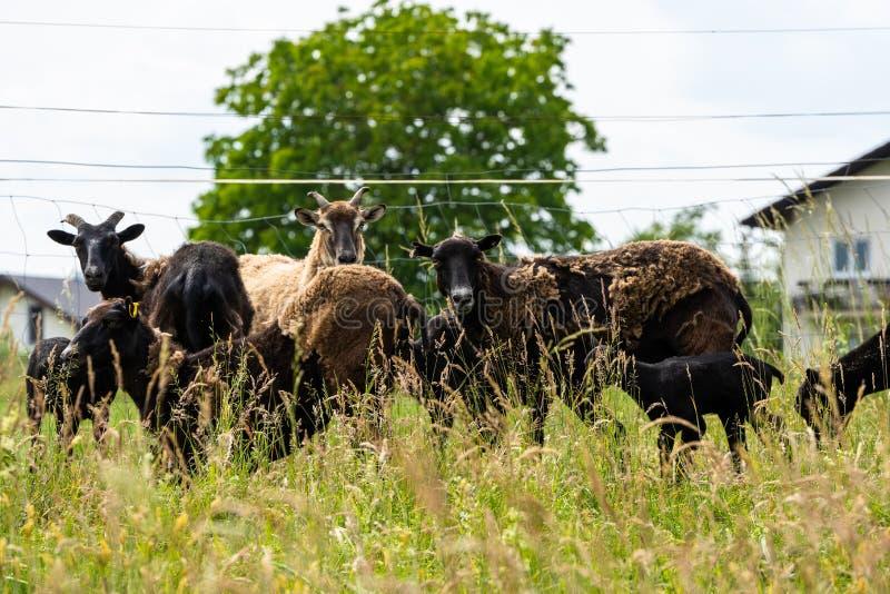 Flock av mouflons royaltyfri foto