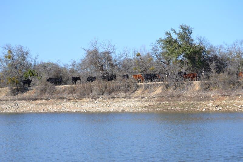 Flock av nötköttkor som korsar en sjöfördämning arkivbild