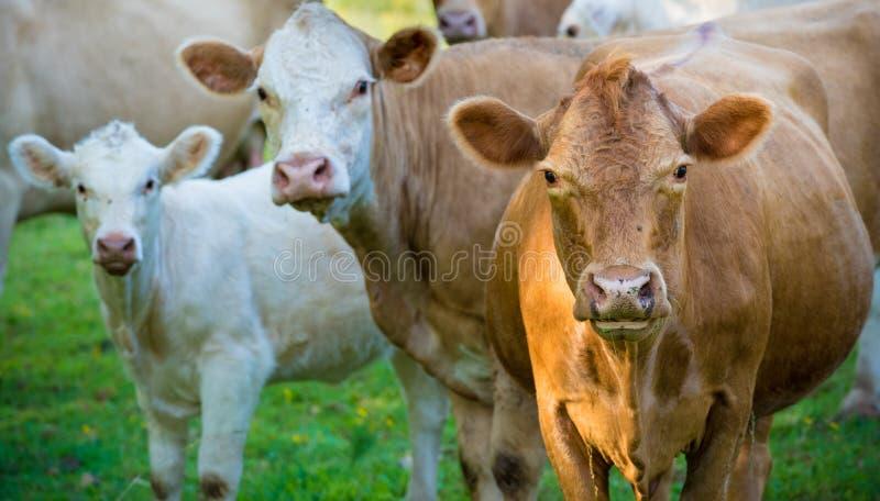 Flock av nötköttnötkreatur royaltyfria foton