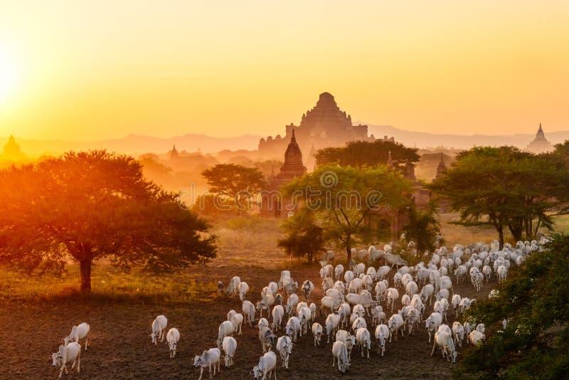 Flock av nötkreatur som flyttar sig bland pagoder i Bagan, Myanmar royaltyfria bilder