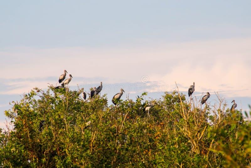 Flock av oscitans för Anastomus för asiatOpenbill fåglar som sitter på träd på Thale Noi Waterfowl Reserve Lake, Thailand arkivbilder
