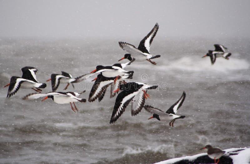 flock av oystercatchertake royaltyfri foto