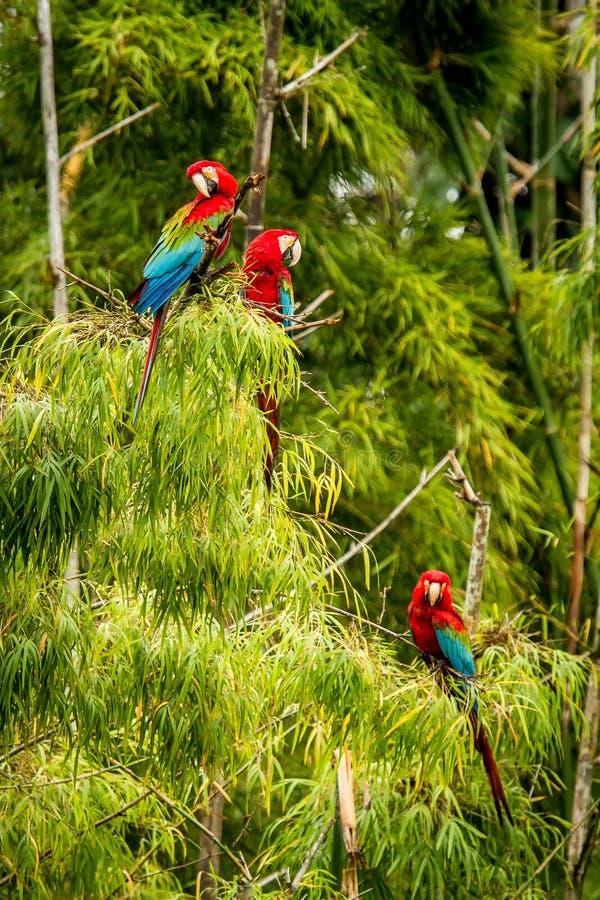 Flock av röda papegojor som sitter på filialer Araflyg, grön vegetation i bakgrund Röd och grön ara i tropisk skog arkivbilder