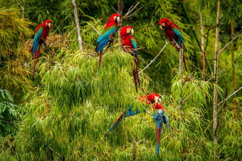 Flock av röda papegojor som sitter på filialer Araflyg, grön vegetation i bakgrund Röd och grön ara i tropisk skog royaltyfri foto