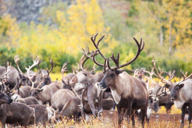 Flock av renen i tundran i höst I förgrunden en härlig hjort rakt framifrån fotografering för bildbyråer
