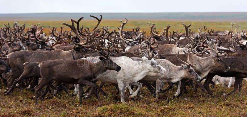 Flock av renen på en årlig flyttning i den polara tundran royaltyfri fotografi